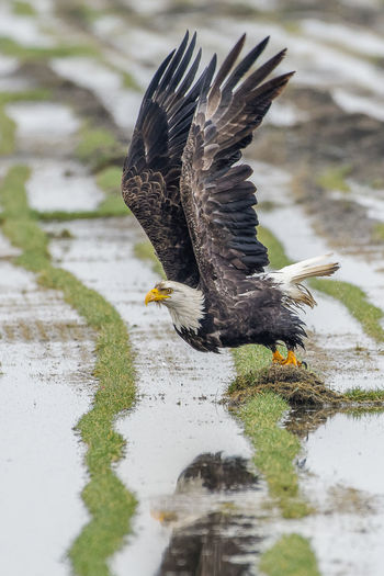 Bald eagle about to take off Bird Animal Animal Themes Animals In The Wild Animal Wildlife Flying Water Spread Wings Nature One Animal Bird Of Prey Eagle Eagle - Bird Bald Eagle Bald Eagles Nature_collection Nature Photography Naturelovers Birds Of EyeEm  Birds_collection Birds🐦⛅ Birds In Flight