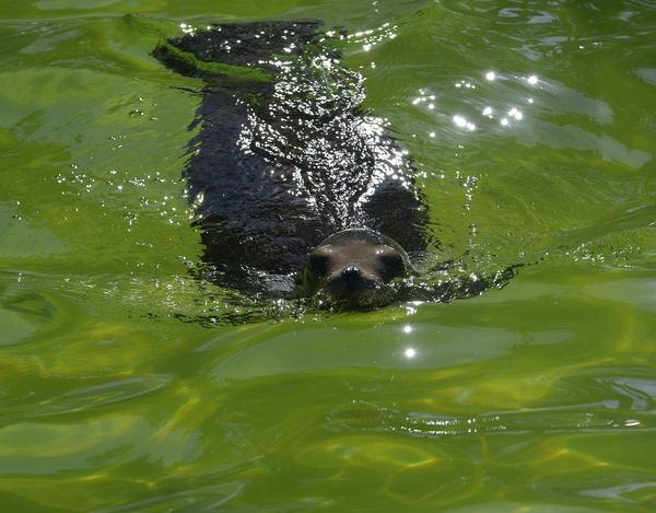 Zoo Animal Themes Animal Wildlife Aquatic Mammal Mammal Nature No People One Animal Outdoors Sealion  Sealions Swimming Water Waterfront Zoo Life