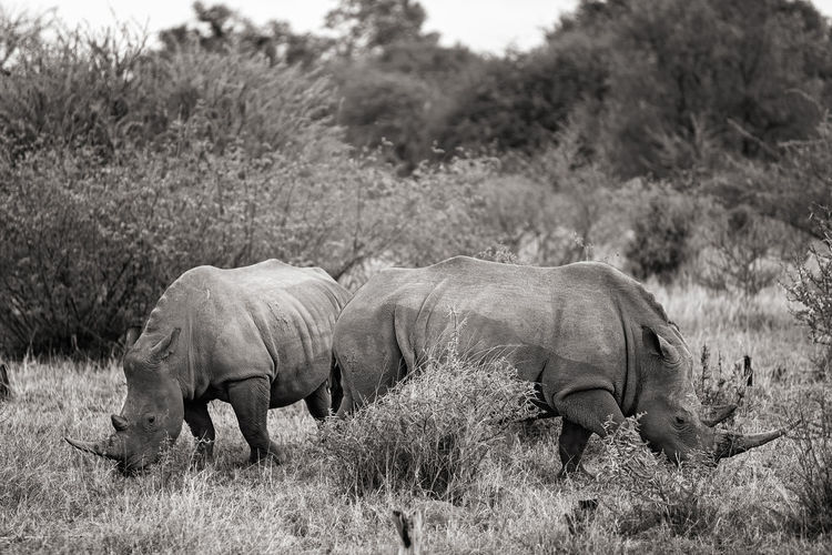 Rhinoceroses grazing in forest