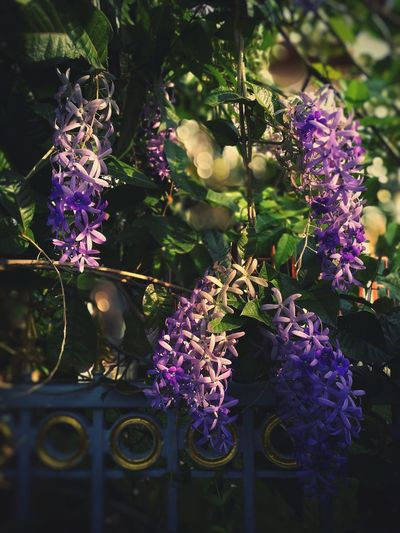 Puang kram... Purple Flower Hanging Outdoors Nature Day Plant No People Freshness Beauty In Nature Scented Growth Nature Fence Thailand Bangkok