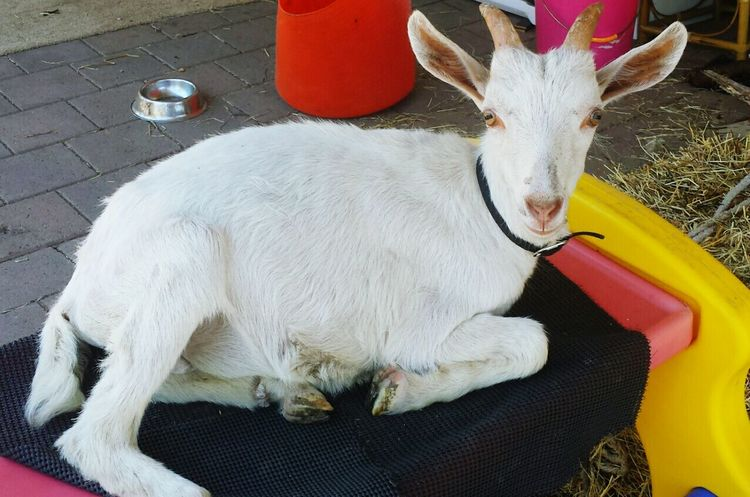Casper The Goat Relaxing Taking Photos Enjoying Life Cheese! Samsung Galaxy S4 Goat Goat Life Baby Goats Goatfarm Farm Life Country Life Furfriend Kids