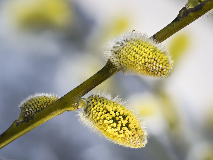 Pasture Plant Blossoms  Blossoming  Yellow Salix Willow Catkins Nature Willow Tree Seeds Branch Selective Focus Allergy Beauty In Nature Spring Season  Tree Outdoors Flowering Plant No People Close-up Macro Photography Stacking Growth New Life