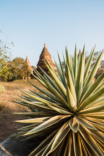 Close-up of plants with pagodas of bagan in the background.