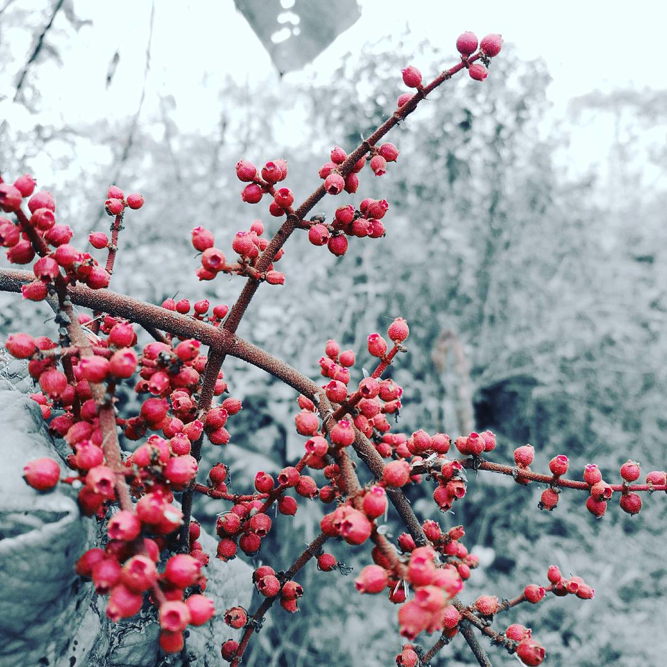 growth, nature, tree, red, freshness, beauty in nature, close-up, branch, fruit, outdoors, plant, no people, springtime, flower, food and drink, winter, day, rowanberry, cold temperature, plum blossom, fragility