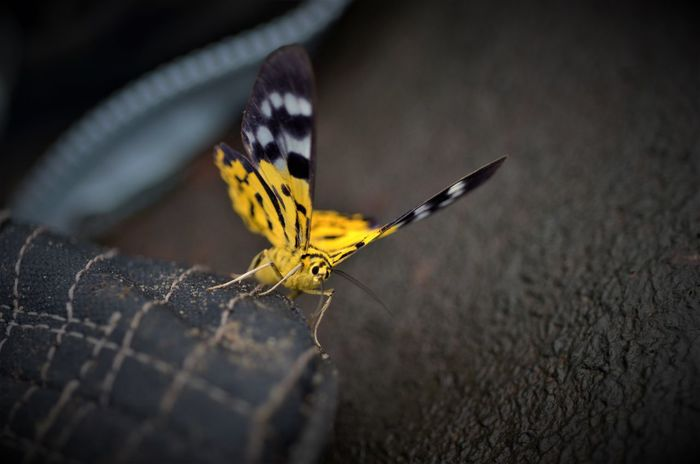 KhaoYai National Park Tiger Moth Natural Parkland Animal Macro