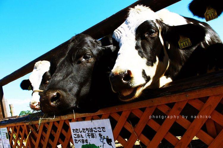 Caw 函館牛乳