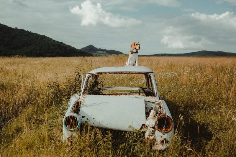 Funny dog on the road Puppy Love Puppy Dog Beagles  Beagle Sunsine Animals Animals In The Wild Animal Dogs Of EyeEm Dogs Dog Ruine Trabant Old Cars Old Car Transportation Mode Of Transportation Car Nature Land Field Plant Sky Rural Scene Environment Day Adult Travel Women