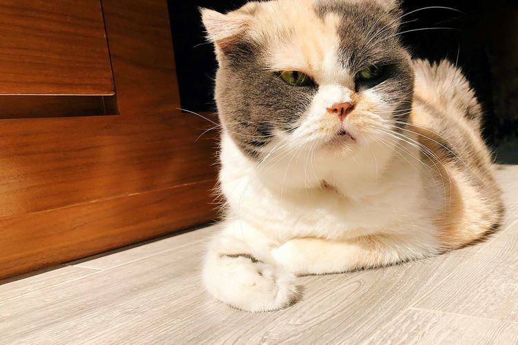 Scottishfold Calico Shadows & Lights Shadow Sunlight Sun Relaxing Cat's Life Cat One Animal Indoors  Pets Domestic Mammal Domestic Animals Close-up Lifestyles Cat Domestic Cat Home Interior Whisker Leisure Activity Relaxation