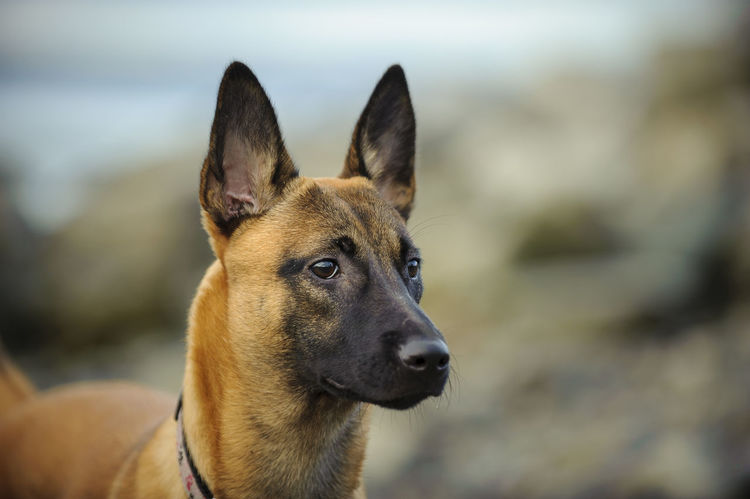 Belgian Malinois dog Belgian Malinois Day Dog Dogs Mammal Outdoors Pet Pets Protection Protection Dog Puppy