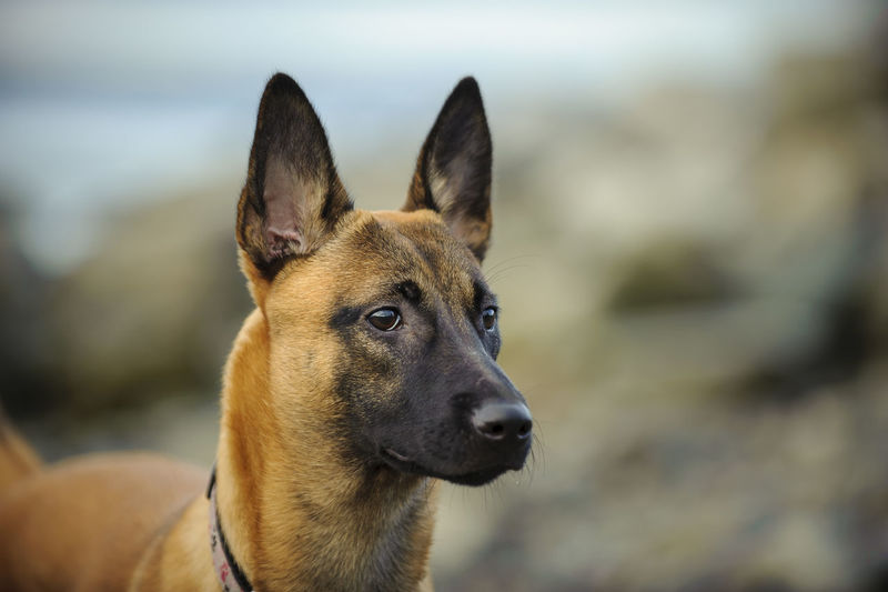 Close-up of malinois dog on field