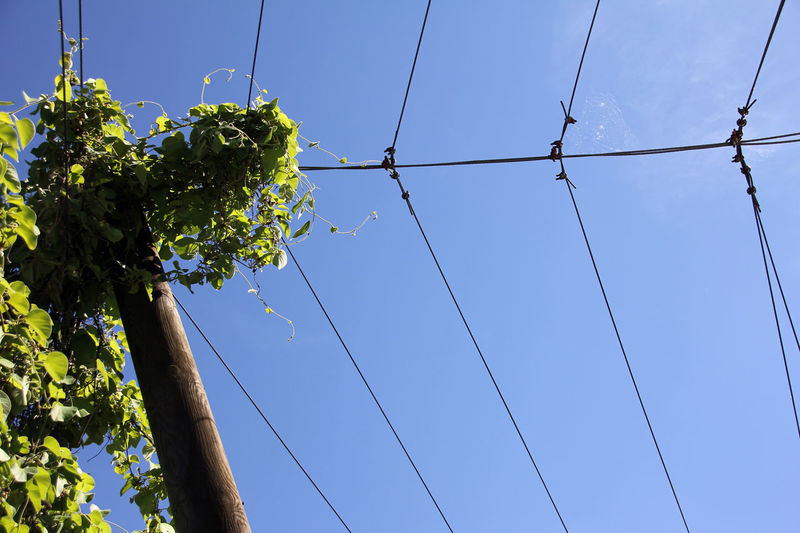 hop plant grows in the sky Beauty In Nature Blau Blue Cable Clear Sky Close-up Day Draht Growth Himmel Hope Hopfen Low Angle View Nature No People Outdoors Sky Tree