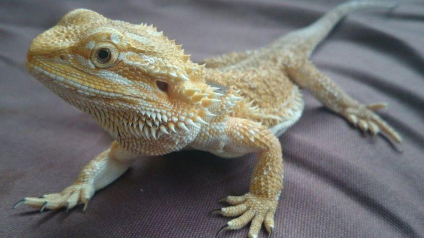 Tetzuo I Love My Pet Lizard