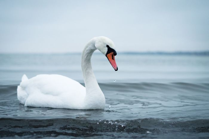 Lonely sad swan swimming on the waves. Solitude Swimming Side View Alone Sky Daytime No People Closeup Autumn Winter Outdoors Horizon Over Water Blue Nature Bird Swan Waves Seaside Sea Water Tranquility Tranquille Scene Calm Elegant