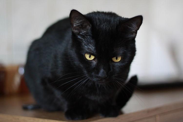 Close-up portrait of black cat at home
