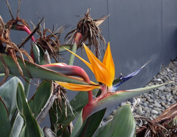 Beautiful bird of paradise Bird Of Paradise Plant Growth Flower Petal Bird Of Paradise - Plant Nature Beauty In Nature Fragility Plant Freshness No People Leaf Outdoors Flower Head Close-up Blooming
