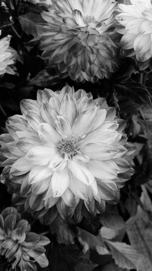 A Black And White Close-up of Beatiful Flower Head . Featuring Flower Petal Pink Color Beauty In Nature Nature Plant Fragility No People Beauty Day Tranquility Outdoors Growth Freshness Peony  Zinnia  Blossom Blooming Green Leaves Focus On Foreground Beauty In Nature