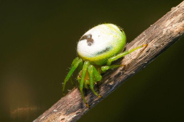 黑綠鬼蛛 Insect