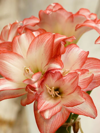 Amaryllis, Dutch Amaryllis,Knight's Star Lily,South African Amaryllis Dutch Amaryllis Knight's Star Lily South African Amaryllis Amaryllis Amaryllis Flower Amaryllis In Bloom Beauty In Nature Close-up Day Flower Flower Head Flowering Plant Focus On Foreground Fragility Freshness Growth Inflorescence Nature No People Outdoors Petal Pink Color Plant Pollen Red Vulnerability