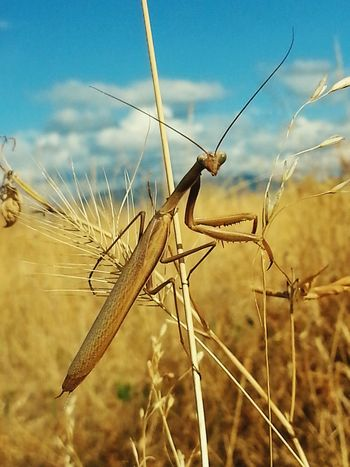 This light brown colored male Praying Mantis blends in well with the with the dry grass of late summer as he searches for a mate. Naturephotography Protecting Where We Play Wildlife & Nature Beautiful Nature Bugsporn