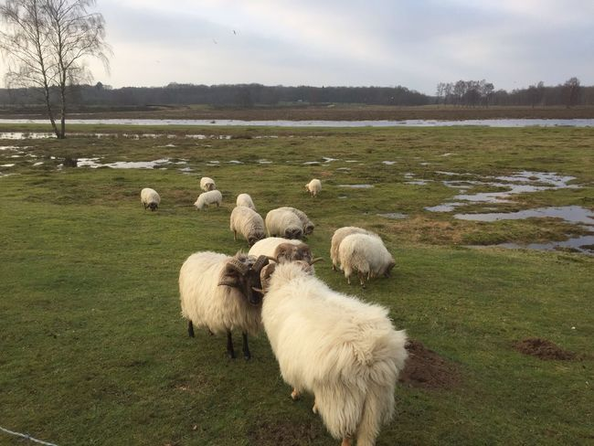 Grass Nature Sheep Field No People Landscape Outdoors Domestic Animals Sky Livestock Mammal Beauty In Nature Togetherness Tranquility Animal Themes Day Flock Of Sheep Large Group Of Animals Tree