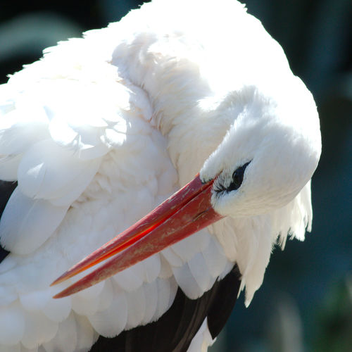 Close-up of white stork preening outdoors
