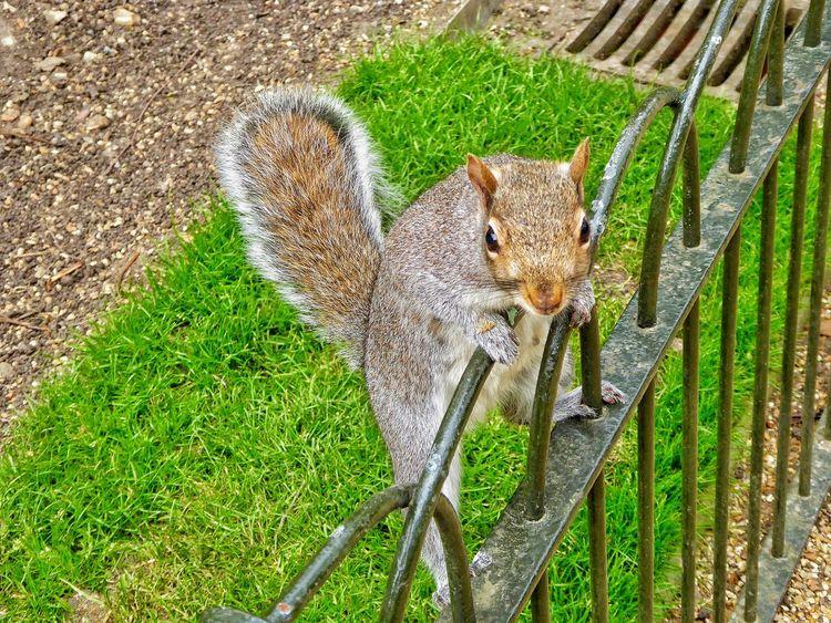 Squirrel Squirrels Grey Squirrel Gray Squirrel London Parks Hyde Park London LONDON❤ My London Wildlife Wildlife & Nature Urban Wildlife Up Close