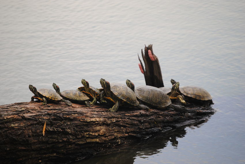 Burke Crenshaw Park Beauty In Nature Day Lake Medium Group Of Animals Nature No People Outdoors Rippled Tranquility Water Wildlife Wooden Post Turtles Turtle 🐢 Turtles(: Turtles Sitting In The Sun Log