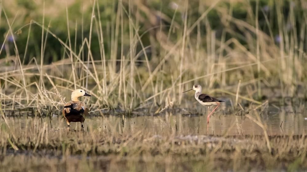 Black winged stilt Brahmini Duck Brahmini Duck Ruddy Shelduck Black Winged Stilt Bird Animals In The Wild Animal Themes Animal Wildlife Nature Grass Day Beauty In Nature Outdoors Perching No People