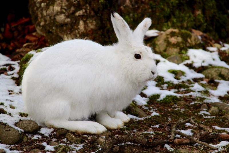 Winter EyeEmNewHere Rabbit Variable Hare Mountain Hare Alpine Hare Tundra Hare Irish Hare White Hare Blue Hare White Color Animal Themes One Animal Mammal Cold Temperature Snow Day Outdoors Nature