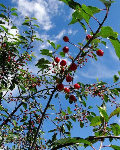 Flying cherries Blue Sky Delicious Against The Sky Red Berries Berries Hugging A Tree Beautiful Nature Summertime Summer Feeling Eeyem Nature Lover Summer Views Yummy Cherries Favorites Berry Fruit Freshness in Sweden