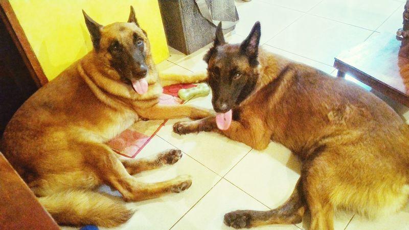 Asus Zenfone Photography Dogs Pets BelgianMalinois BelgianShepherd K9 Cute Protectors Family Ohana EyeEm Best Shots Furryfriends Furry Brothers