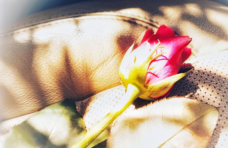 Valentine's Flower Flower Head Petal Close-up Blooming Cosmos Flower Osteospermum Fragility Periwinkle Passion Flower Gazania Dahlia Single Rose Pollen Eyeball Hibiscus Single Flower Watercolor Painting Hydrangea Plant Life In Bloom Growing Rose - Flower Dissolving