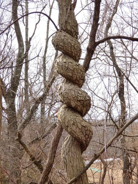 Serpentine Tree Bare Tree Bark Beauty In Nature Branch Close-up Day Focus On Foreground Growth Low Angle View Nature No People Oddity Outdoors Serpentine Textured  Tranquil Scene Tranquility Tree Tree Trunk TwistedWood Wood - Material