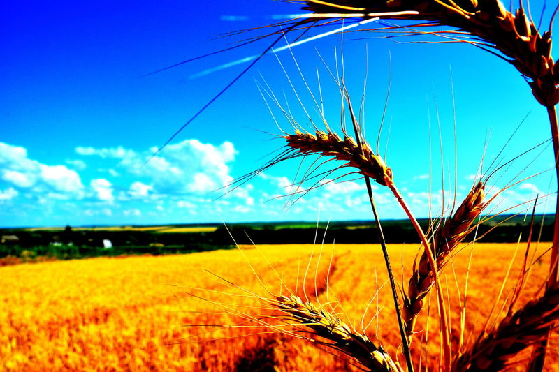 Growth Nature Agriculture Field Plant Rural Scene Crop  Beauty In Nature Cereal Plant No People Day Fragility Outdoors Close-up Sky Freshness Scenics Flower