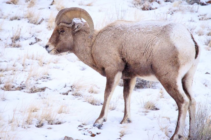 Bighorn Ram in snowy Yellowstone Big Horn Sheep EyeEm Selects Snow Cold Temperature Winter Animal Animal Themes Mammal Nature No People Field Vertebrate Day One Animal Animals In The Wild Standing Outdoors Animal Wildlife Plant Snowing