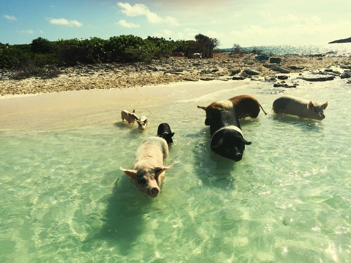 It's not everyday you get to Swim With Pigs