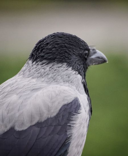 Close-Up Of Raven