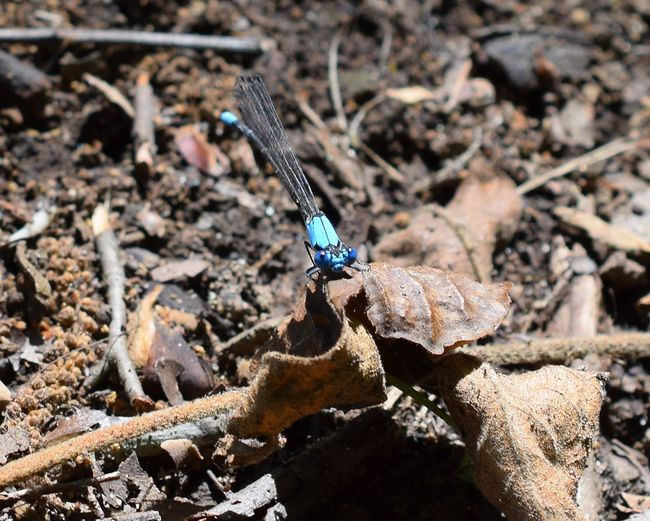 High angle view of blue damselfly on dry leaf