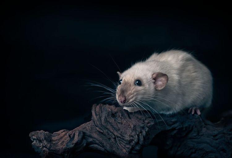 Cute siamese rat on a tree trunk.