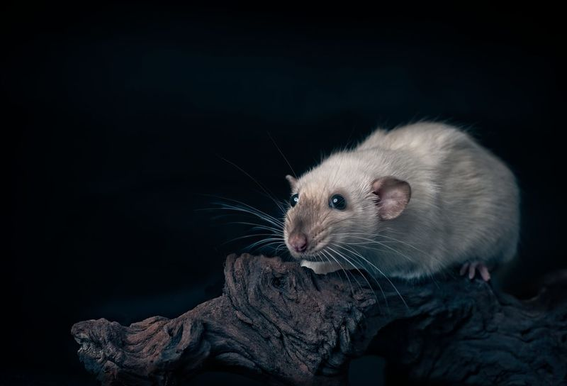 Cute siamese rat on a tree trunk. Copy Space Horizontal Isolated Rat Tree Trunk Animal Themes Animal Wildlife Animals In The Wild Black Background Close-up Cute Animals Cutenessoverload Dumbo Rat Looking Sideways Mammal Nature No People One Animal Outdoors Pentax Pest Rattusnorvegicus Rodent Siamese Rat Whisker