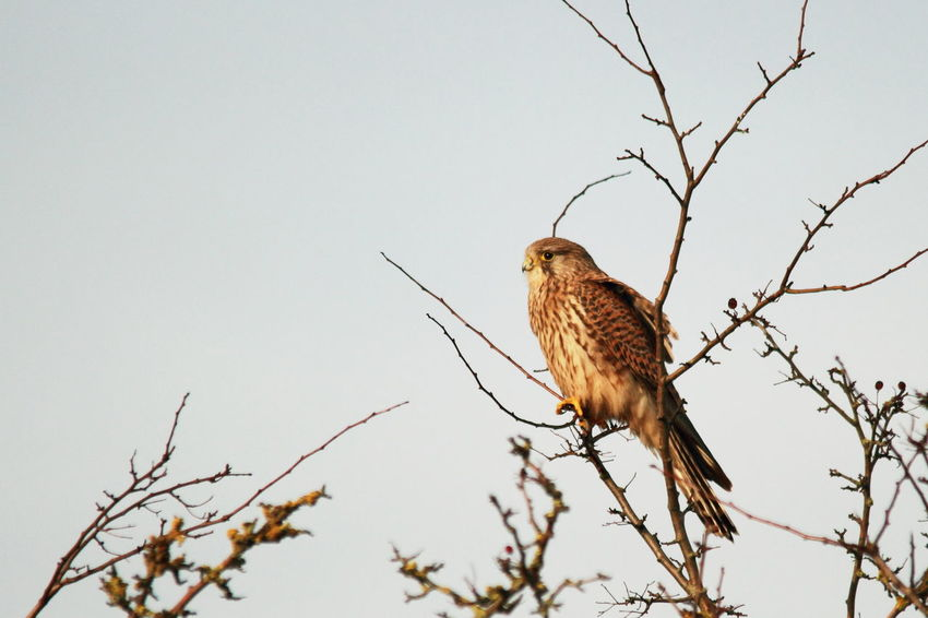 Animal Themes Animal Wildlife Animals In The Wild Bare Tree Bird Bird Of Prey Branch Day Kestrel Low Angle View Nature No People One Animal Outdoors Perching Tree Premium Collection