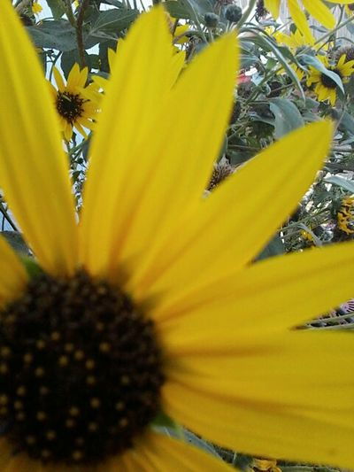 Paint The Town Yellow Flower Yellow Plant Fragility Nature Petal Growth Beauty In Nature Blossom Freshness Selective Focus Flower Head Close-up Outdoors Sunflower No People Springtime Day Botany Uncultivated