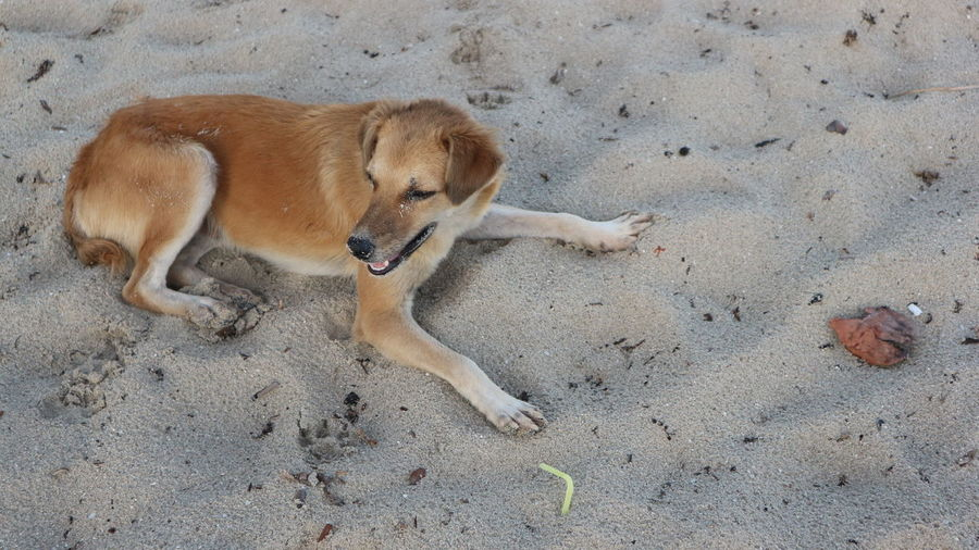 High angle view of dog lying on sand