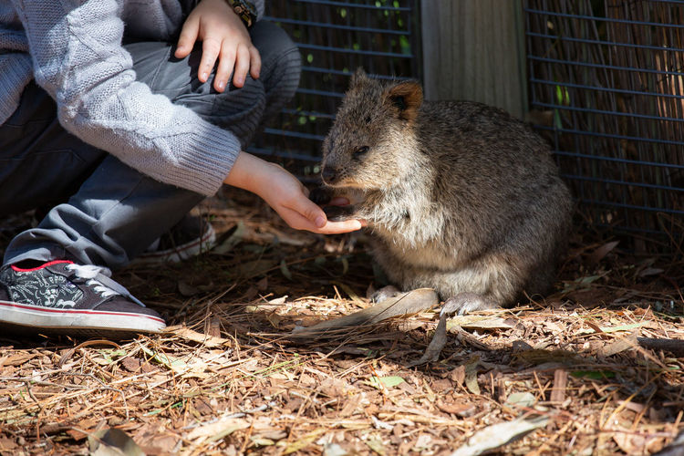 Mammal Eating Animal Wildlife One Animal Feeding  Vertebrate Human Body Part Hand Day Human Hand People Food Animals In The Wild Real People Nature Outdoors Quokka Quokkalove Cutest Animals Marsupial