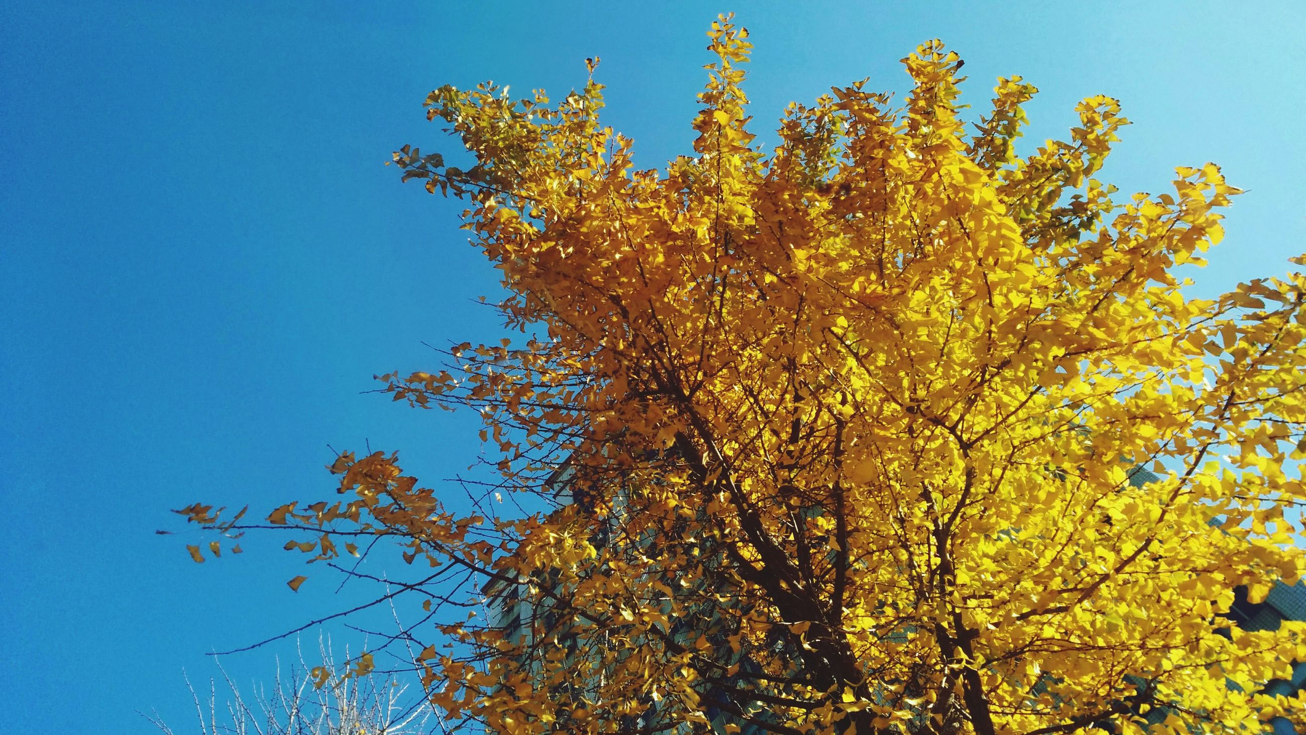 clear sky, tree, low angle view, growth, blue, branch, nature, autumn, tranquility, beauty in nature, yellow, change, sunlight, season, sky, day, scenics, tranquil scene, no people, outdoors