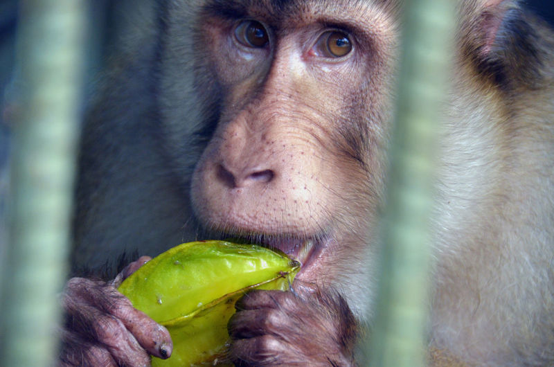 hey Bintan  Eat More Fruit INDONESIA Nature Animal Themes Animal Wildlife Animals In The Wild Close-up Eat Eat And Eat Food Harisbiantoro Kepulauanriau Mammal Monkey Nature One Animal Portrait Starfruit