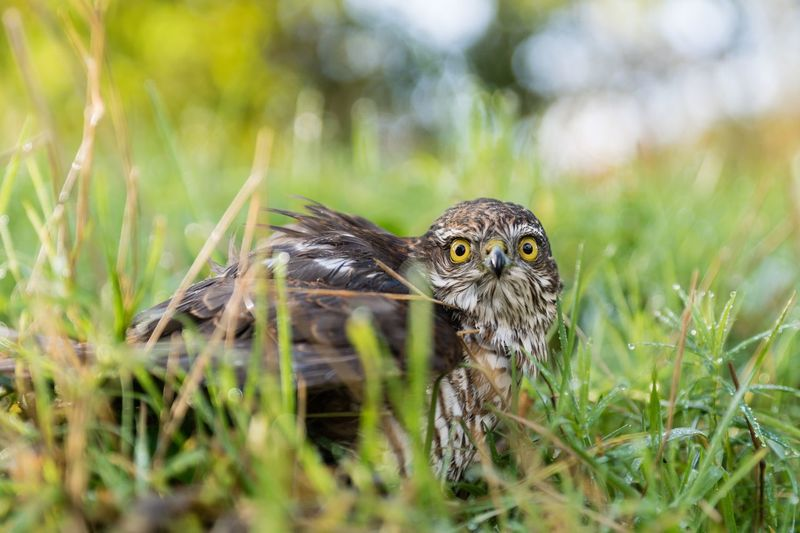 Sherleben Greifvogel Sparrow Hawk Bird Sperber Animal Themes Animal Animals In The Wild Animal Wildlife One Animal Plant Grass Nature Close-up Portrait Bird Selective Focus