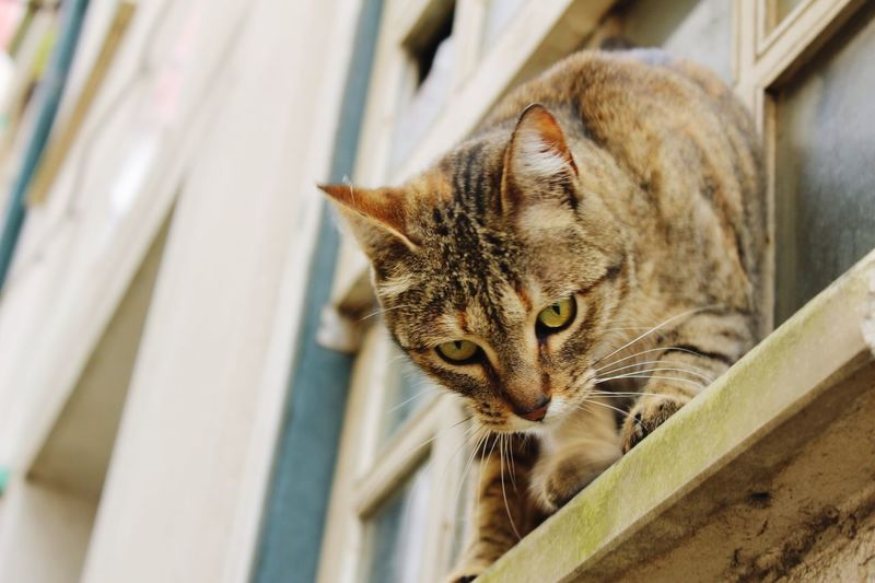 Close-up of domestic cat watching down from window sill