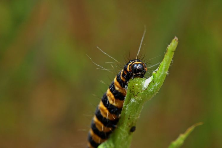 stripes Animals