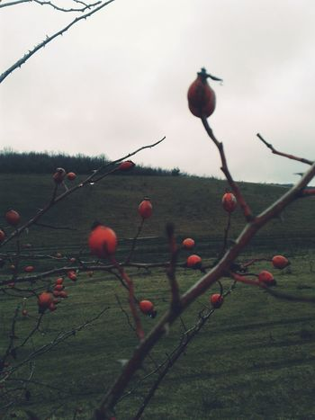 Red Fruit Poppy Growth No People Tree Nature